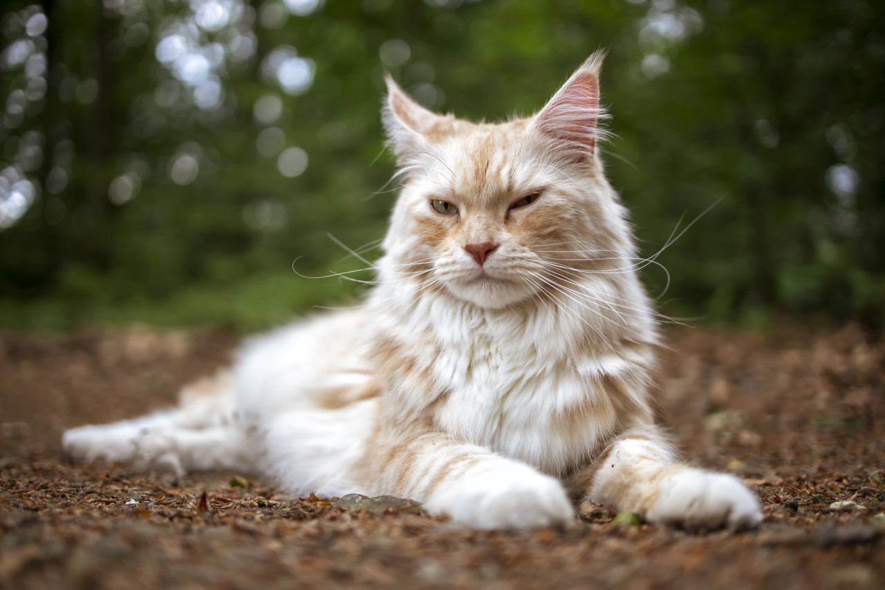 maine coon cat lying on the ground in a forest