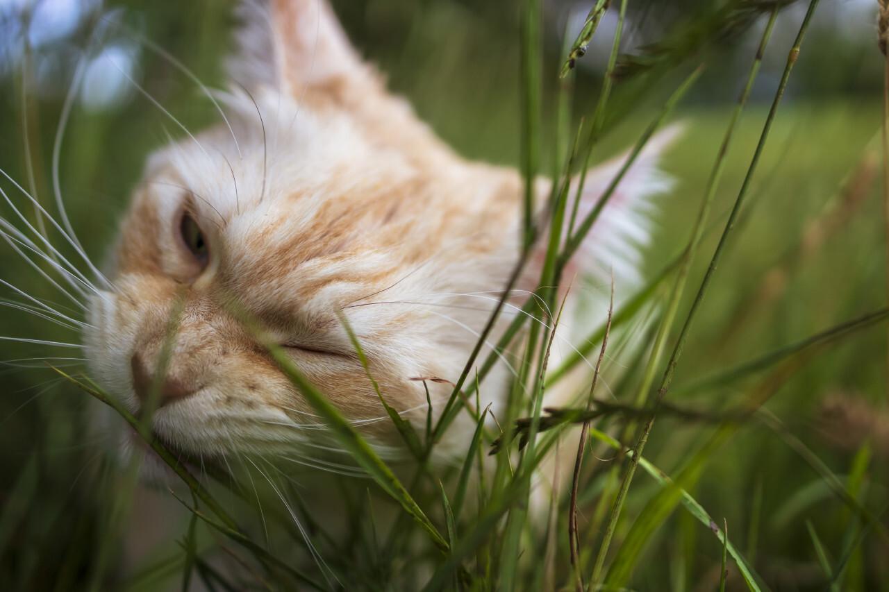 maine coon cat eats grass in the garden