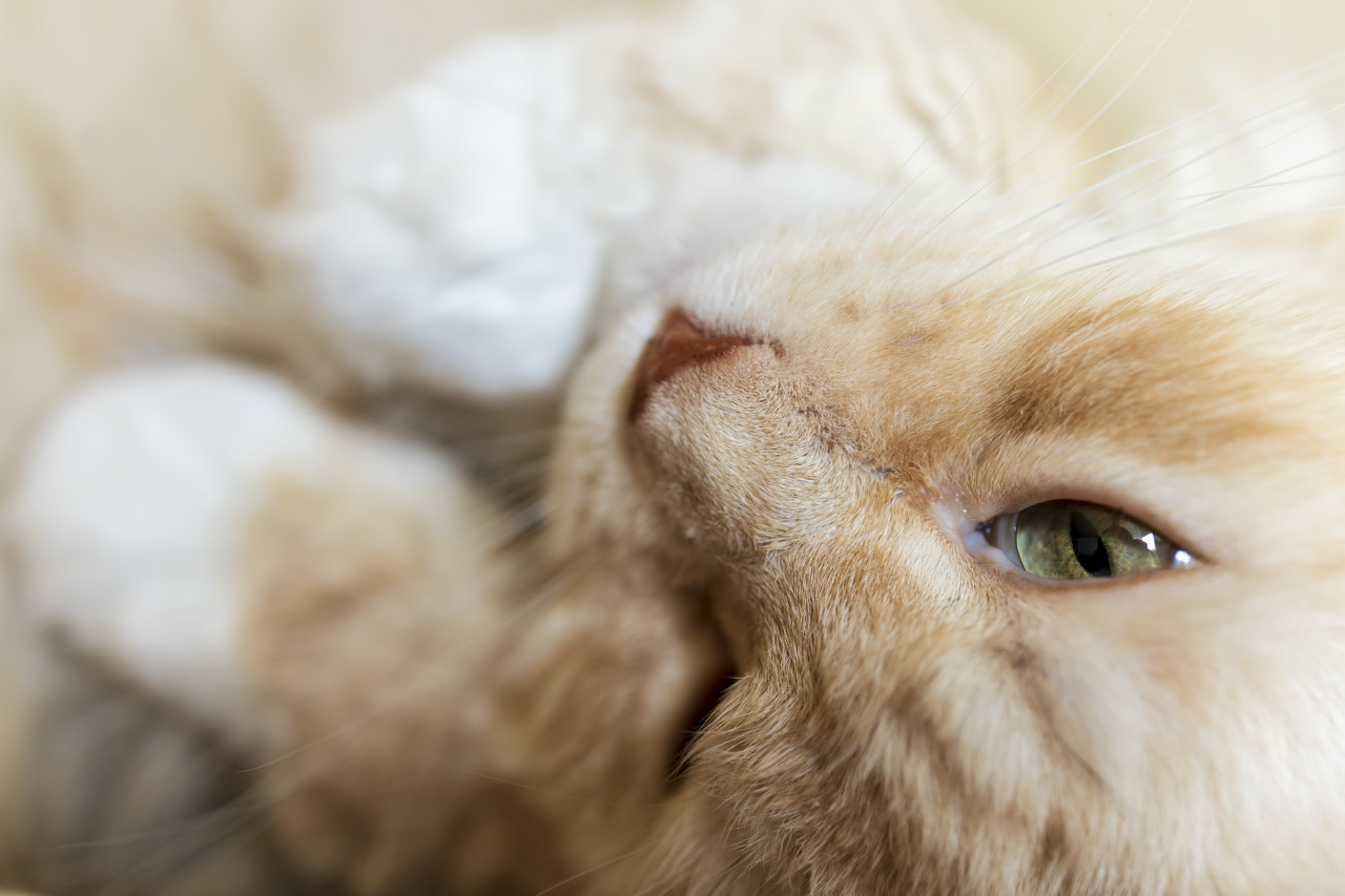 close up of a sleepy maine coon cat