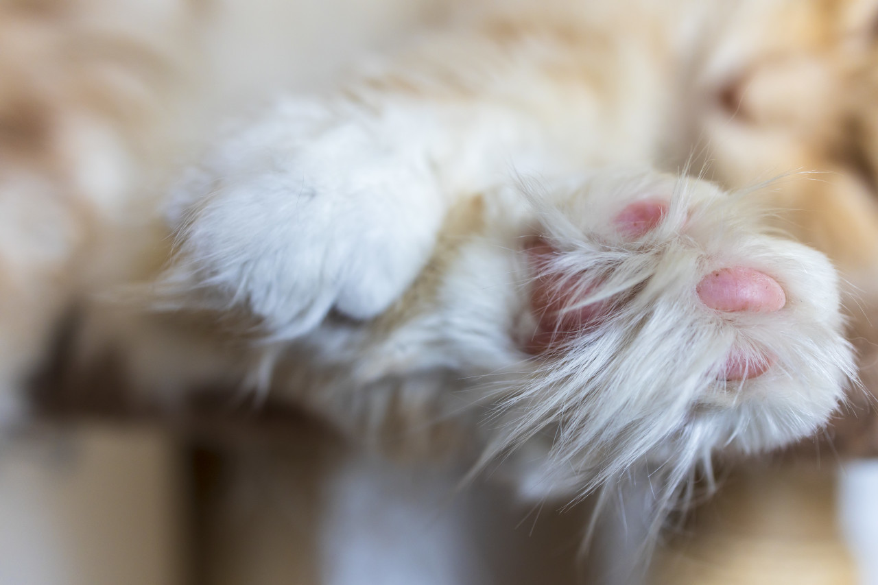 Close-up of a paw of a Maine Coon Cat