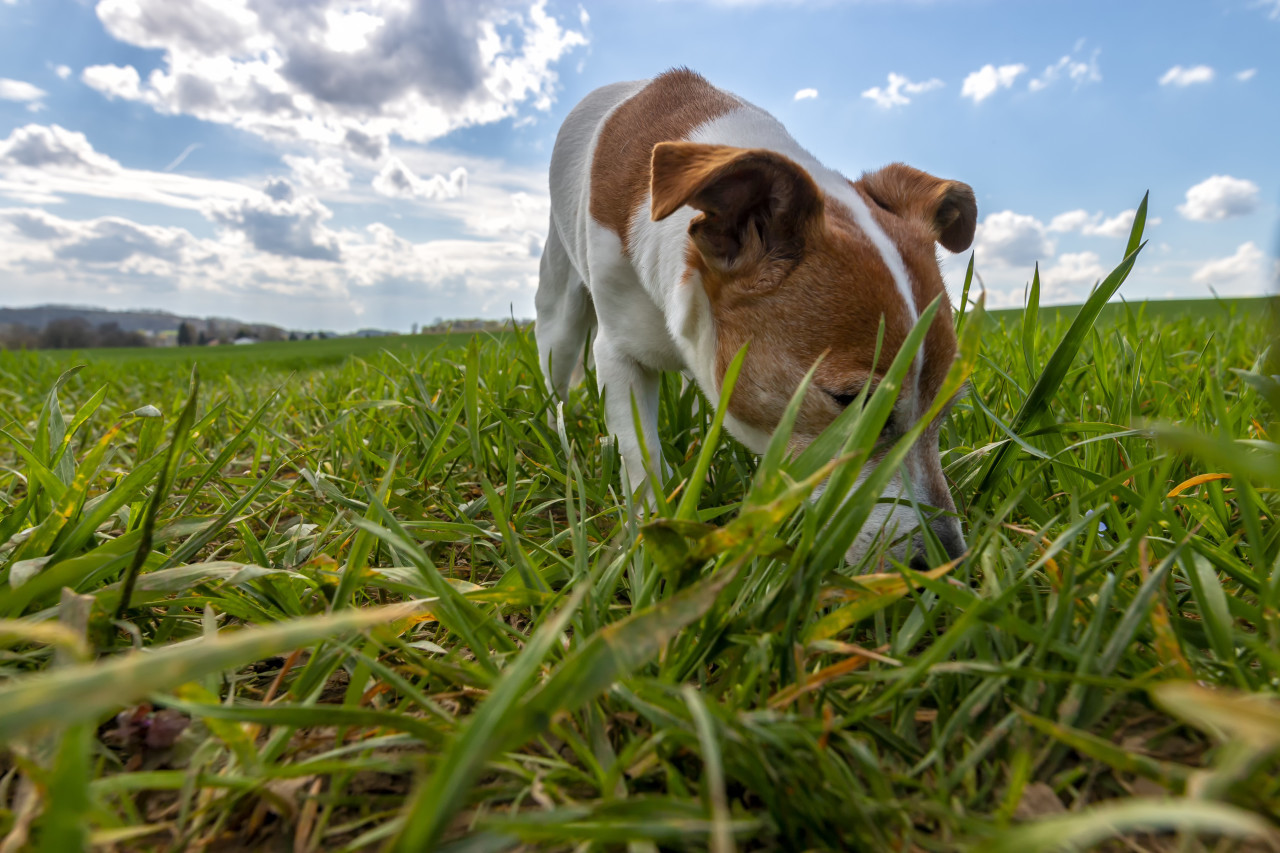 Jack Russell Terrier on a green meadow