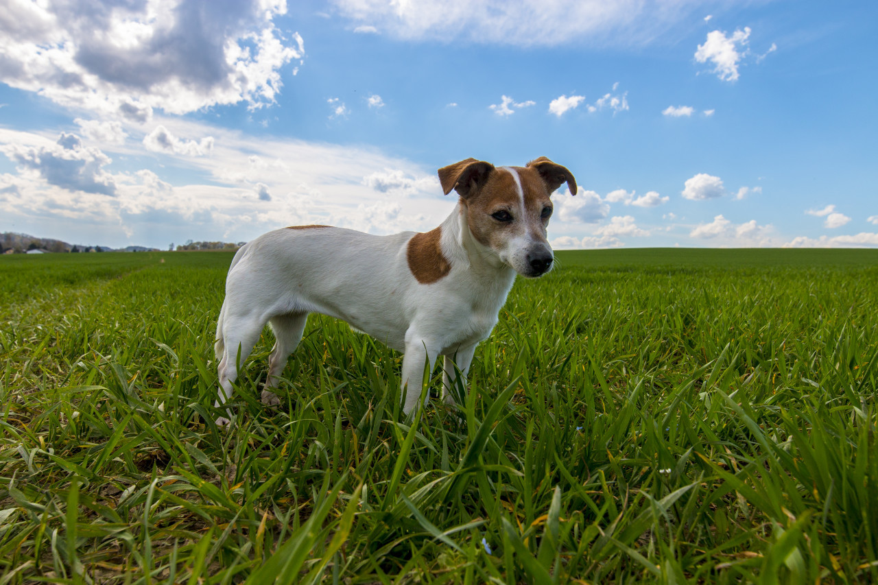 Jack Russell Terrier standing on a green meadow