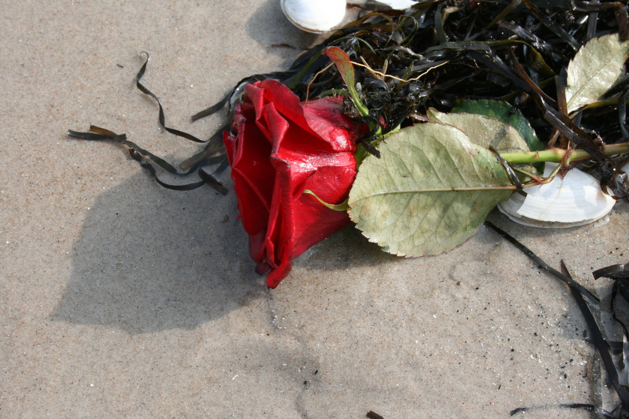 Rose washed up on the beach