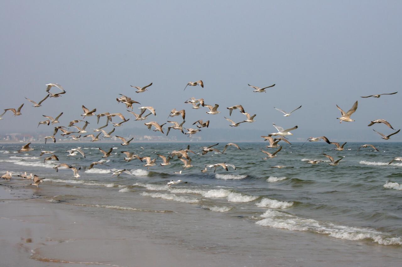 Seagulls fly over the Baltic Sea beach