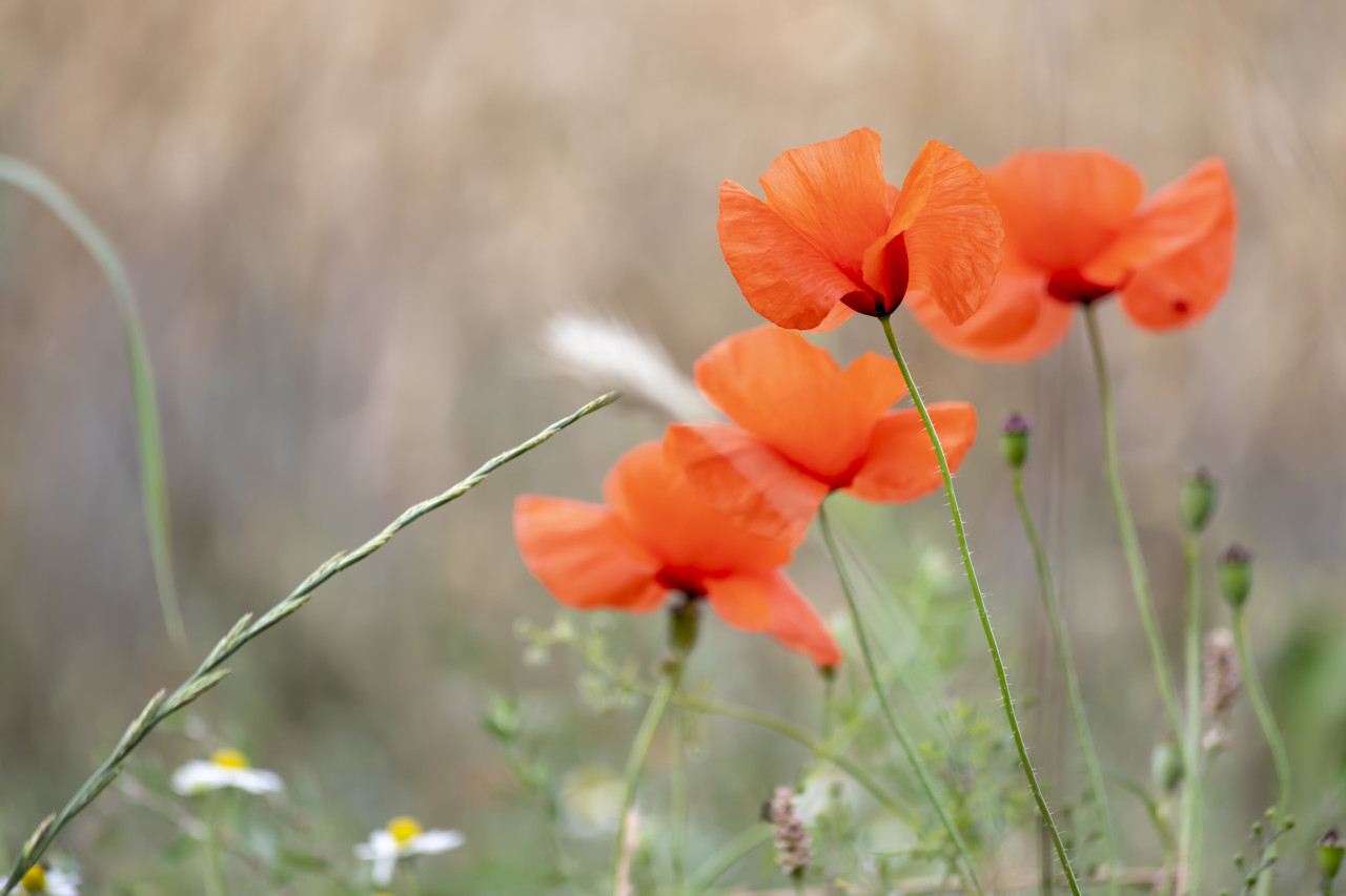 Red poppy (Papaver sp.) flowers, Bavaria, Germany, Europe