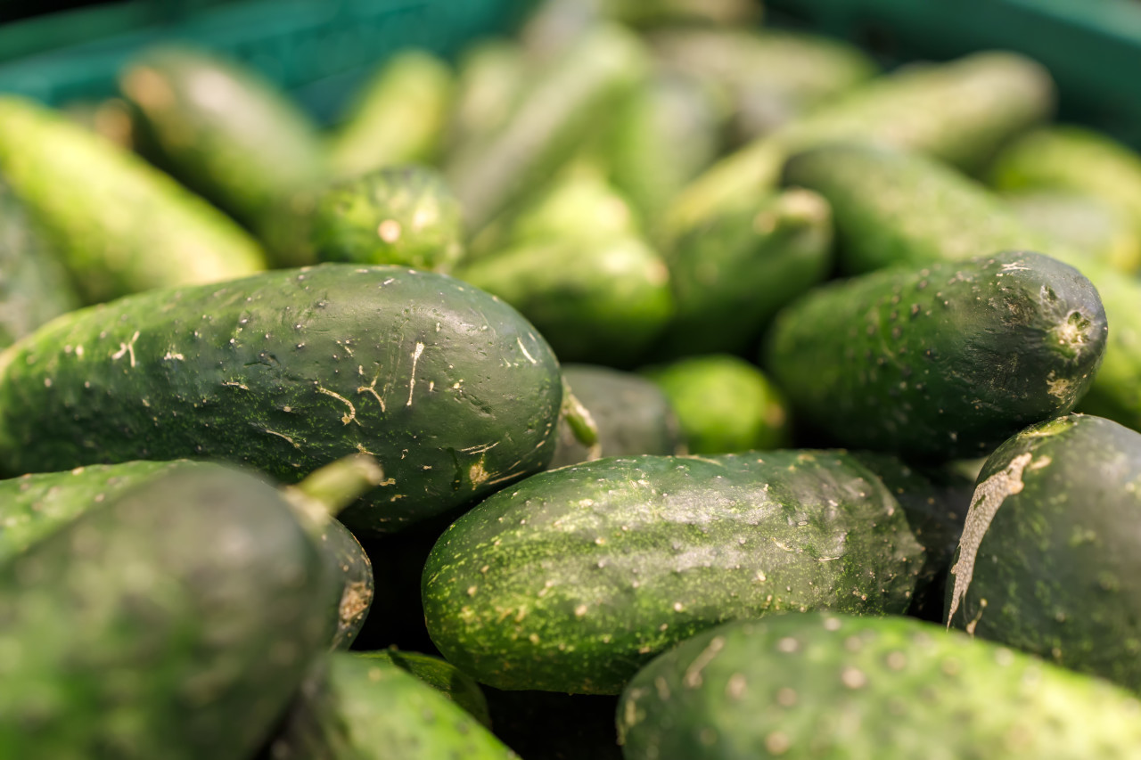 Freshly harvested small and big green Cucumbers in boxes on farmers market shelves close-up.