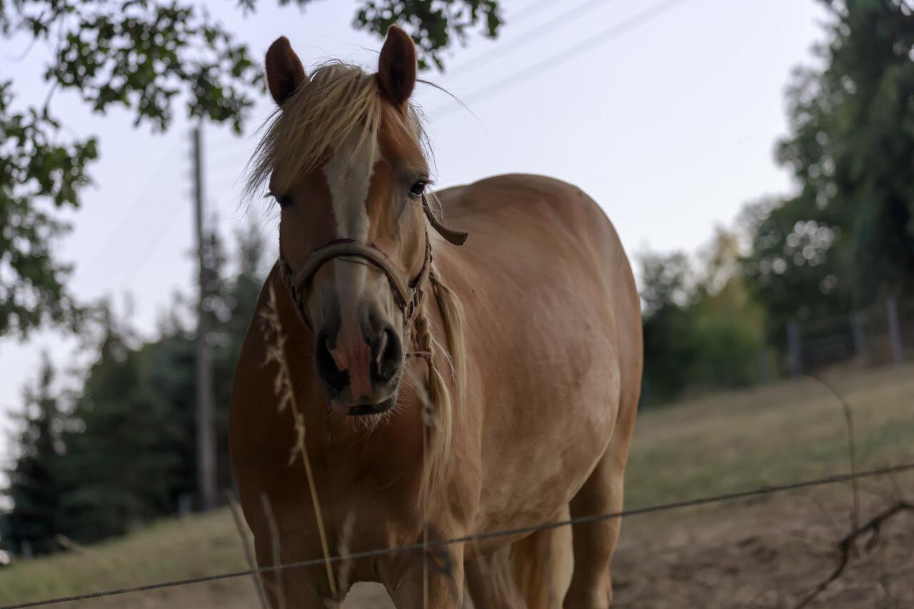 Beautiful latvian breed bay horse