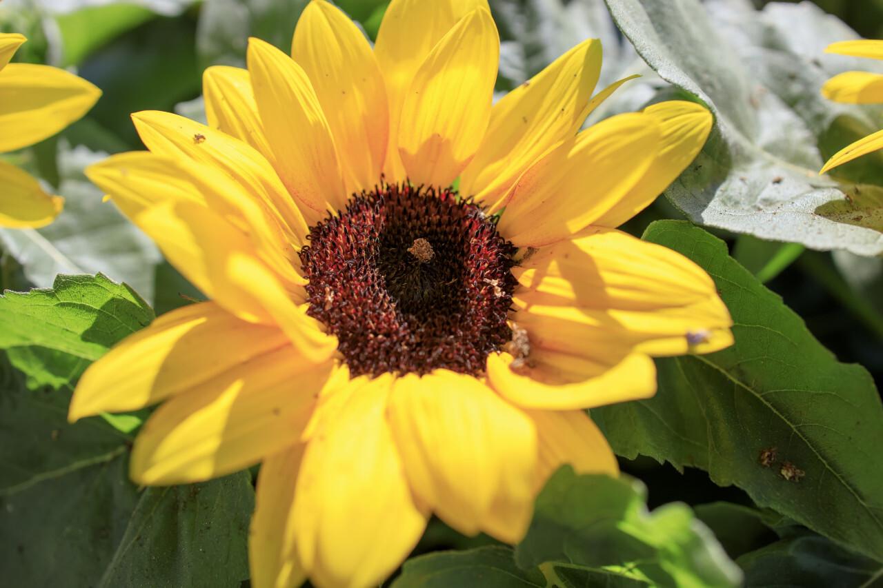 Background with orange beautiful sunflowers