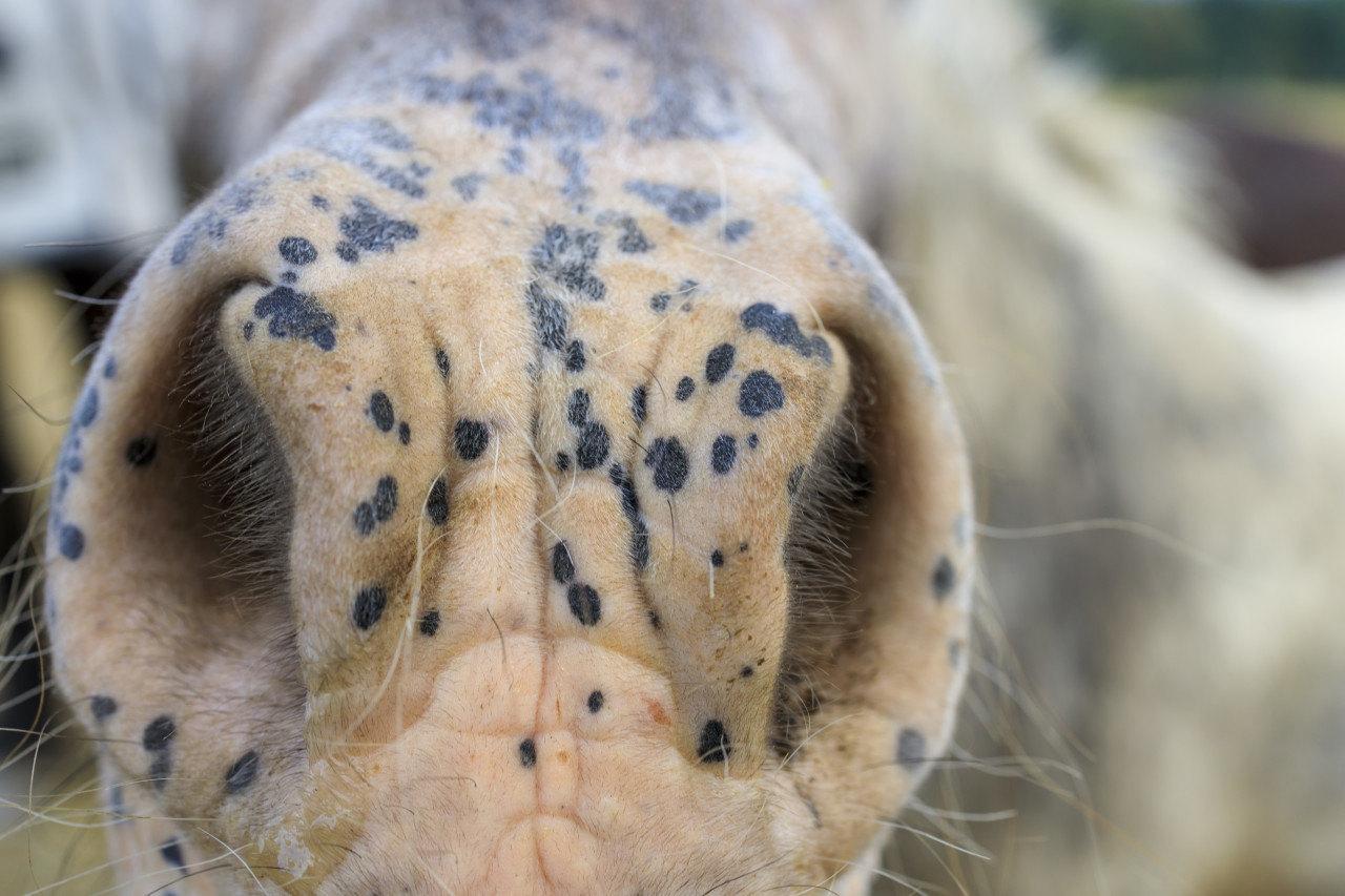 Muzzle of a black spotted gray horse