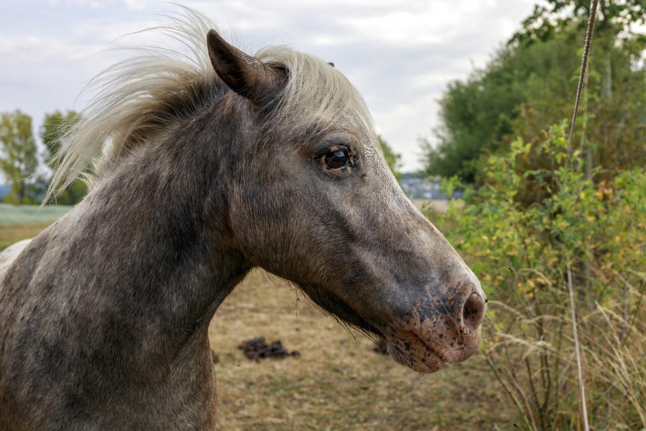 Gray pony on pasture, cute little animal portrait