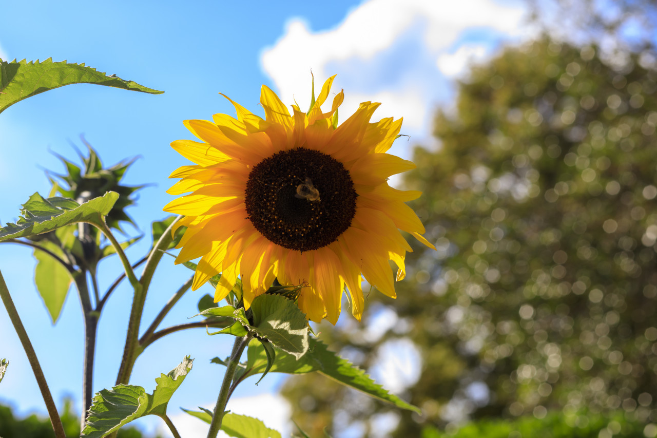 Sunflower on a blue sky with clouds