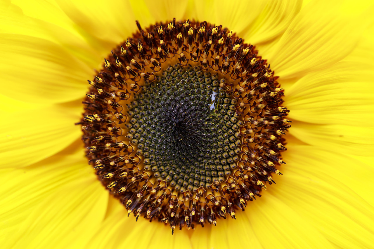 Tall sunflower with a bright yellow closeup background
