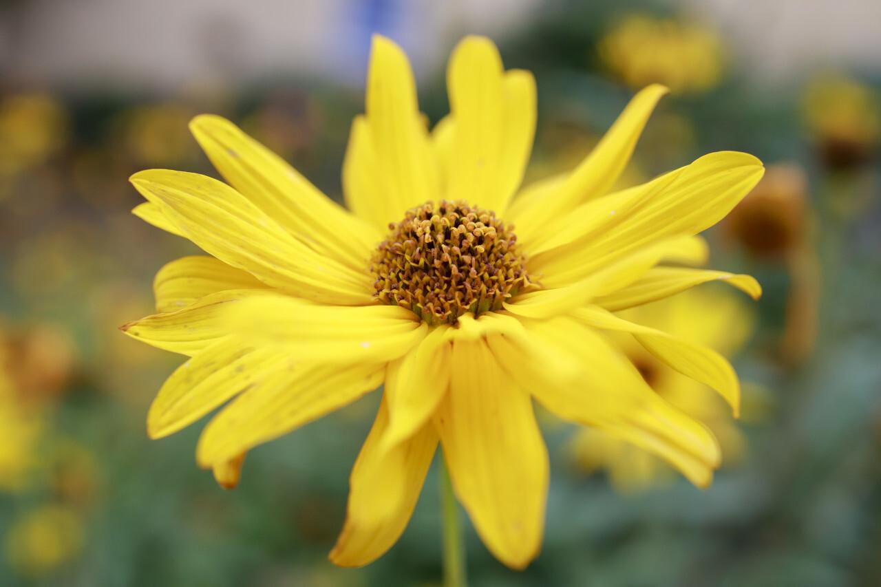 Yellow flowers of Echinacea blurred bokeh background