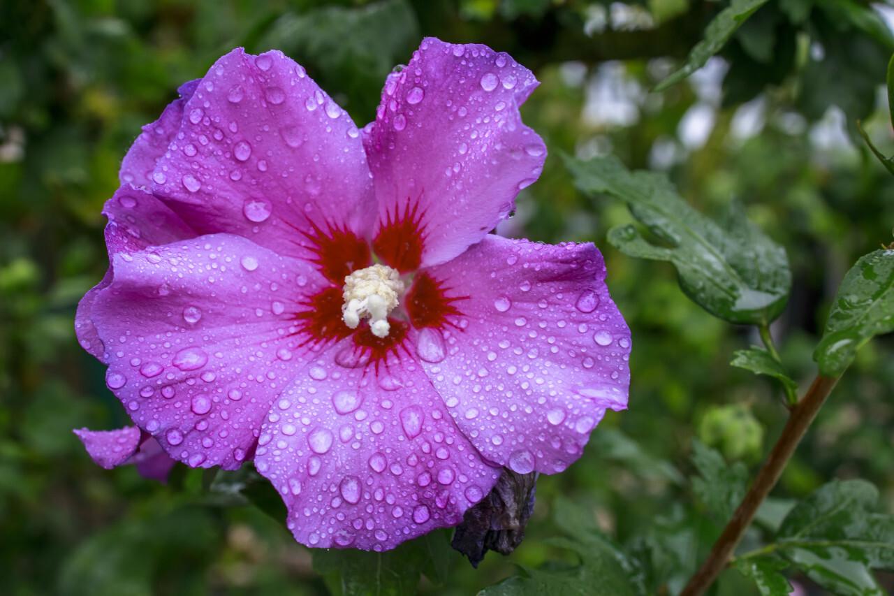 Purple Hibiscus flower wet from the rain