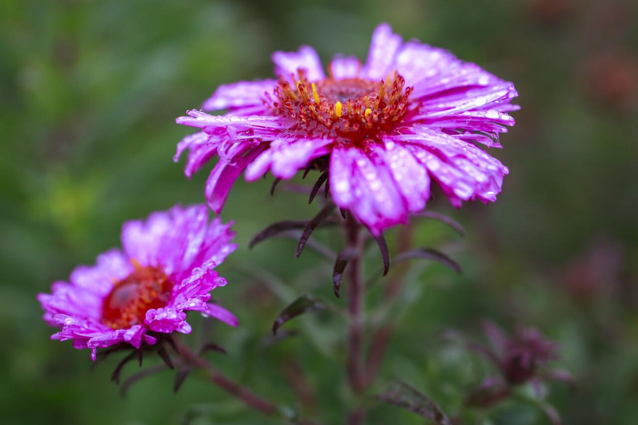 Rain wet Blooming Pink Aster Flowers