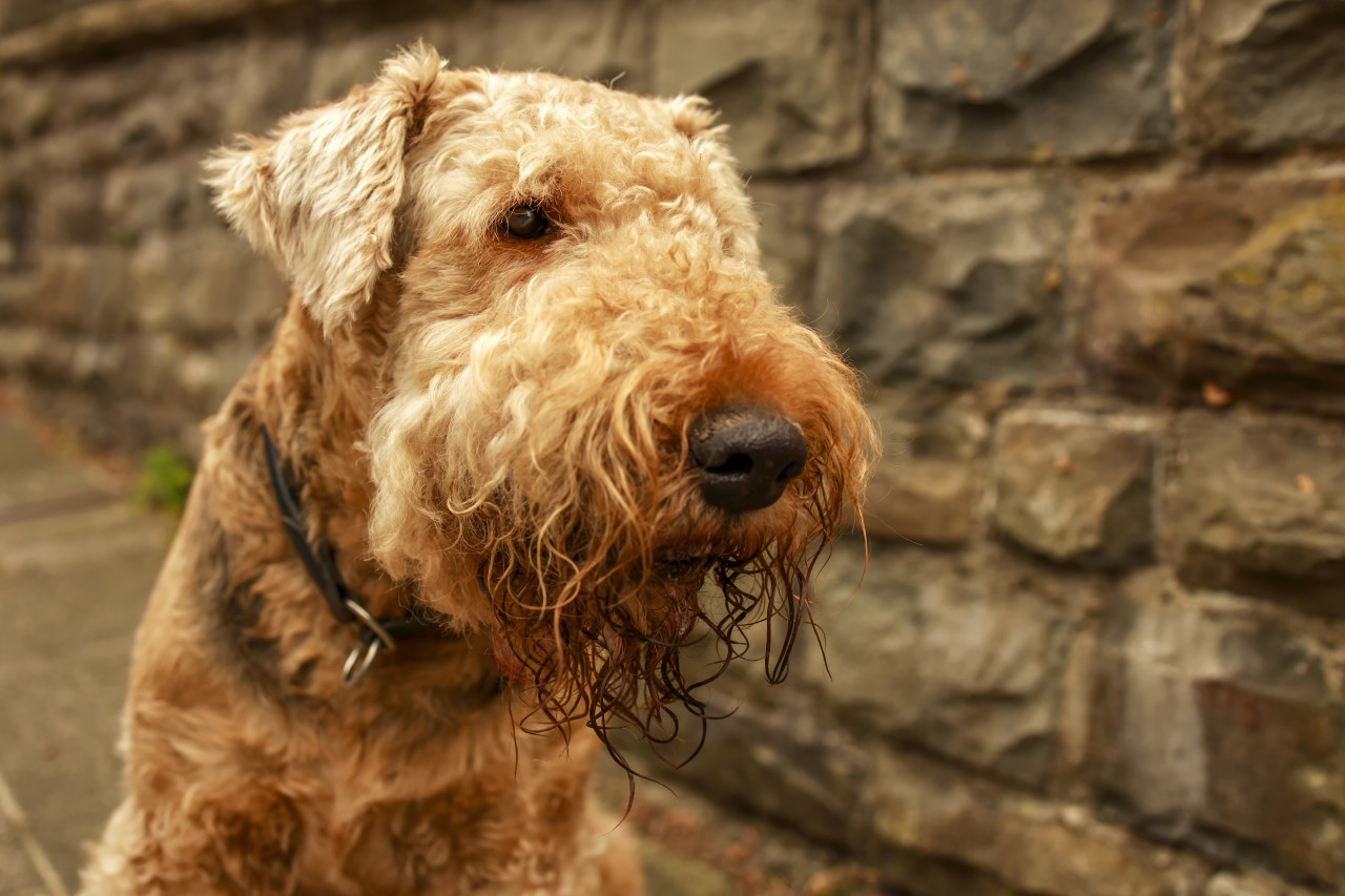Airedale Terrier, also called Bingley Terrier and Waterside Terrier