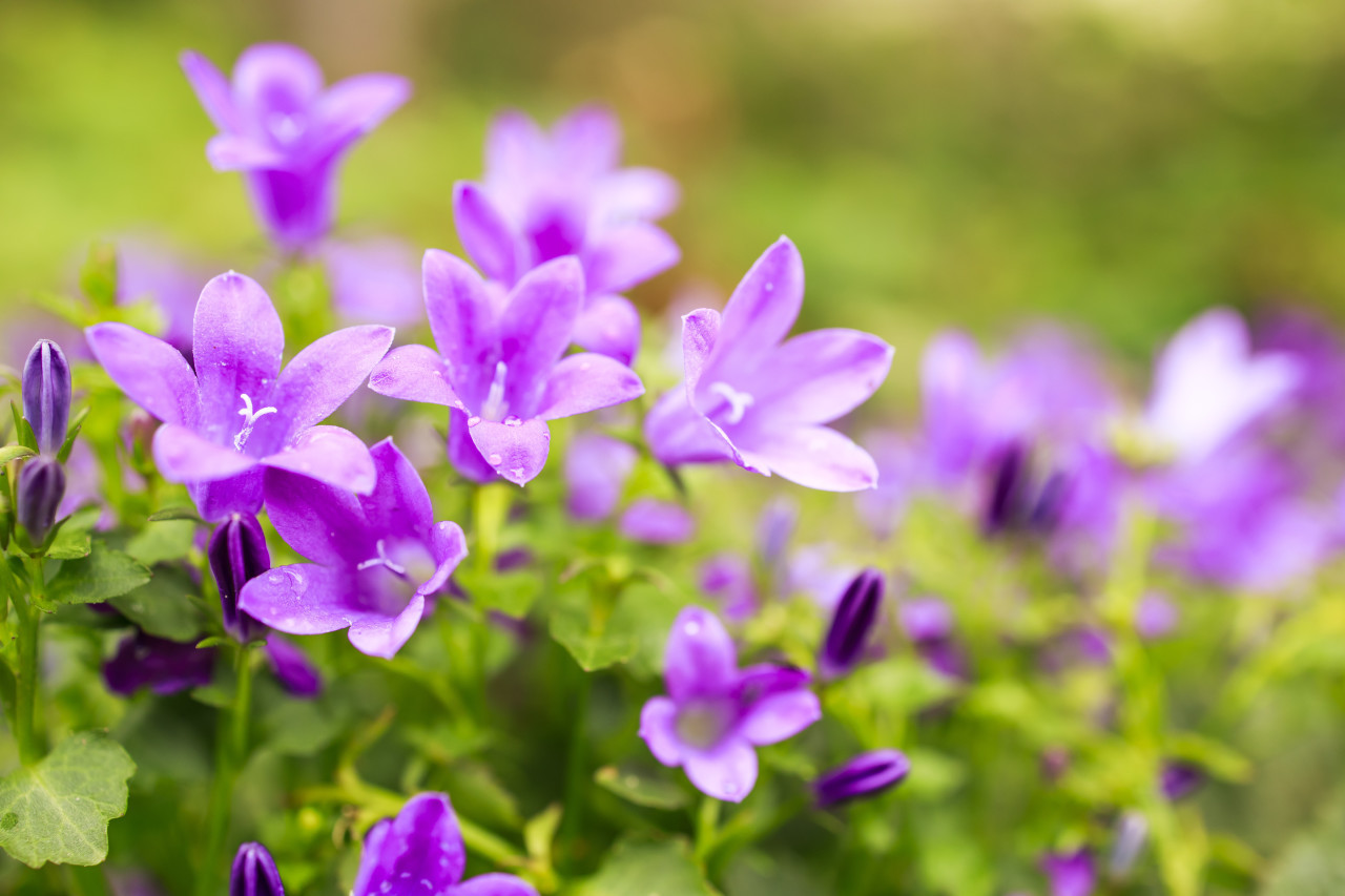Blossom of pink bellflowers campanula flowers in garden, nature background close up