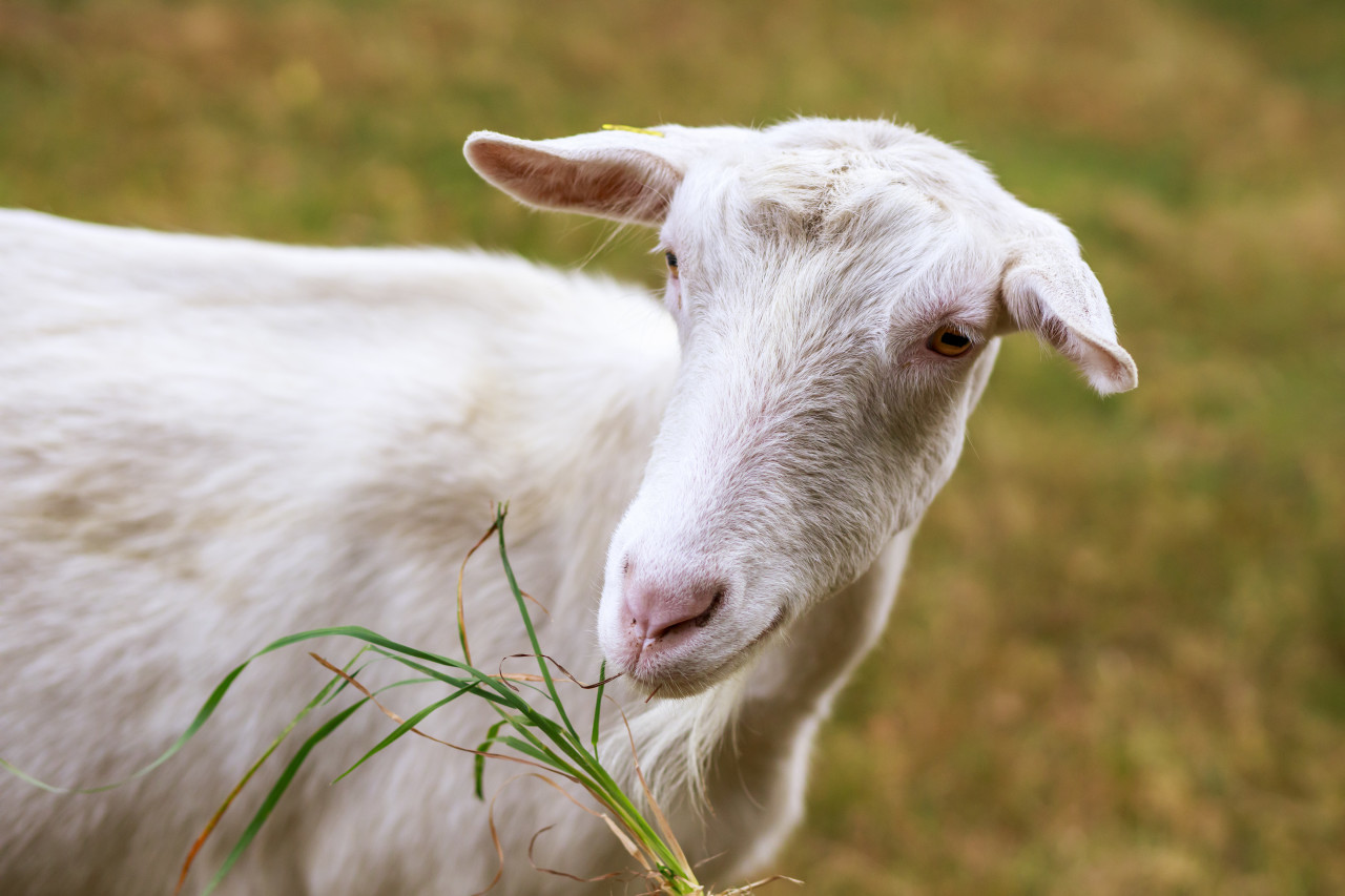 Portrait of a white Goat on a meadow