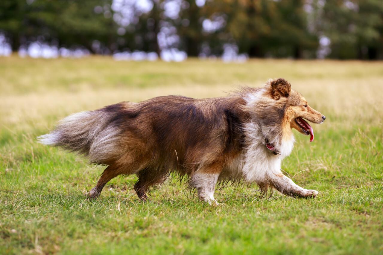 Shetland Sheepdog on a meadow