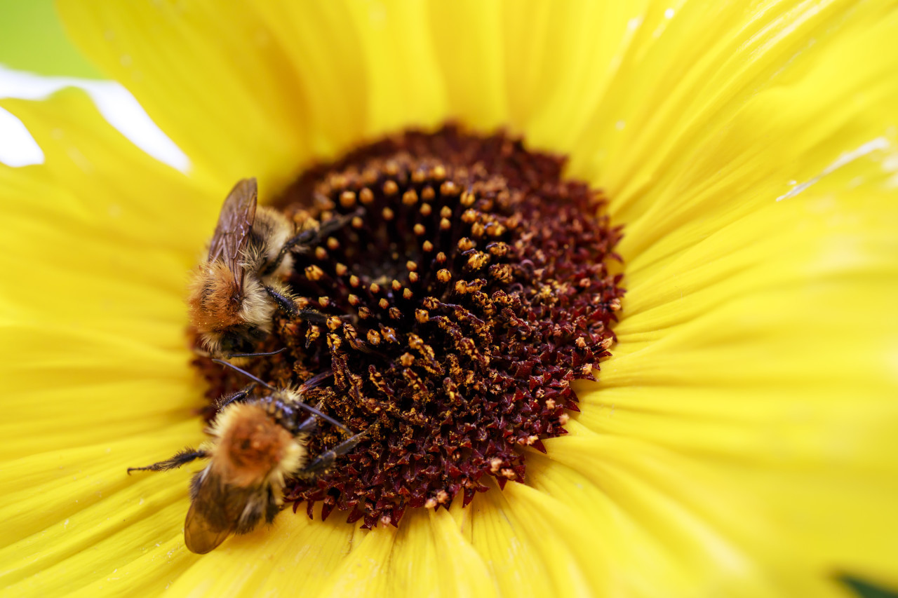 Bees on sunflower. Close-up view