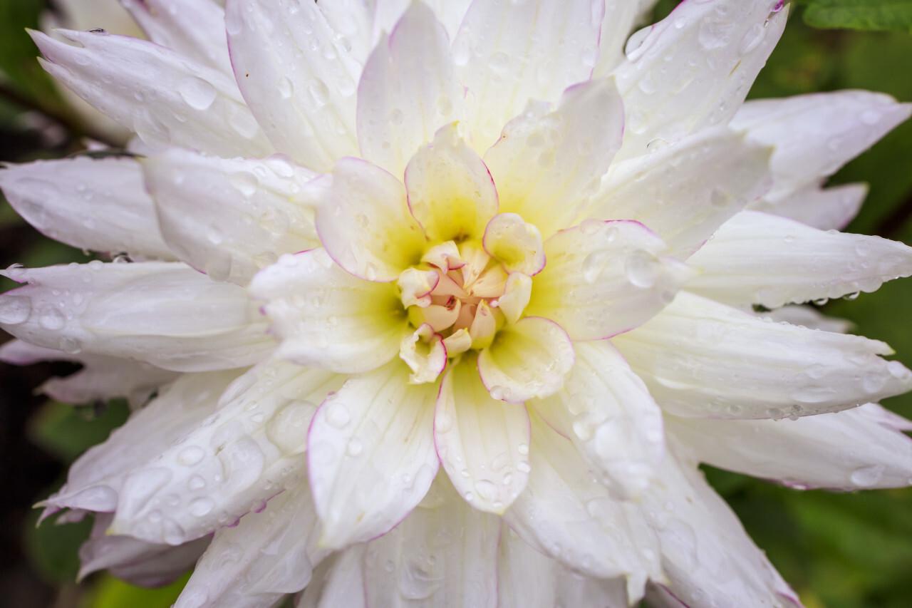 white dahlia flower in the rain
