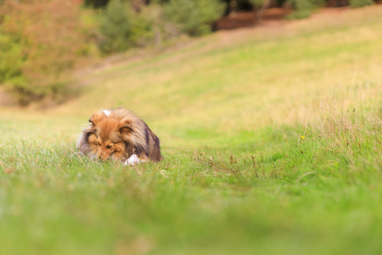 Shetland Sheepdog on a meadow