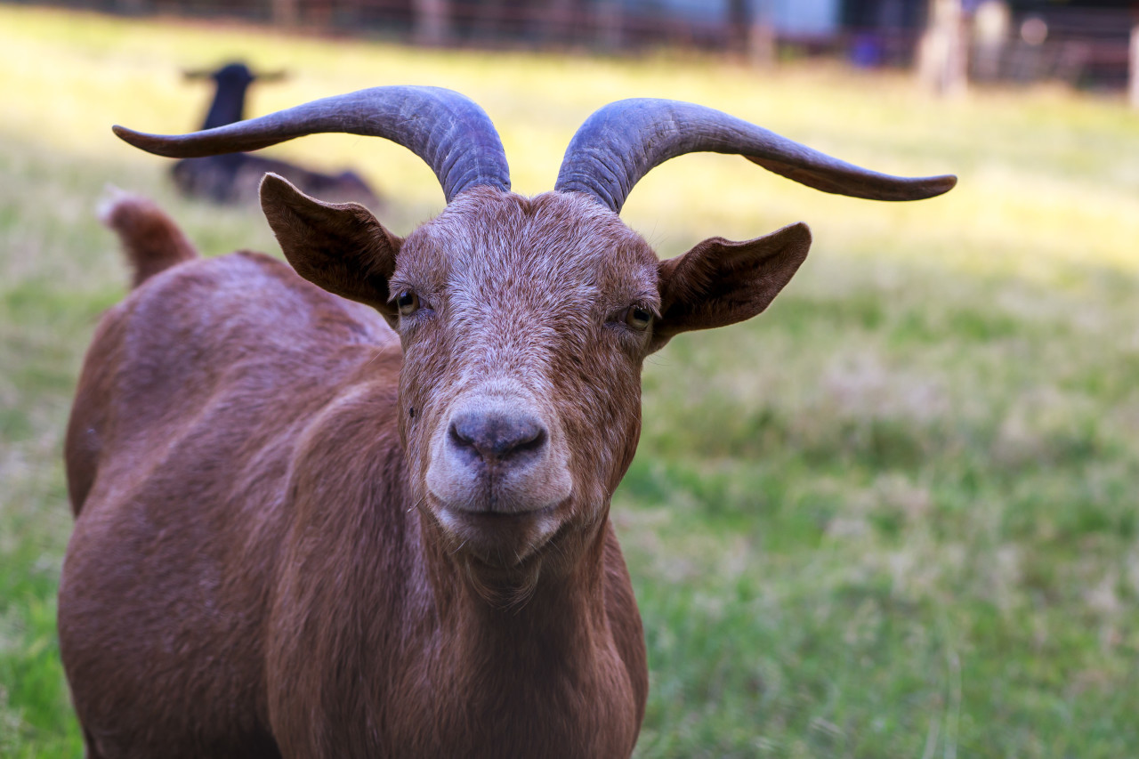 a brown goat on the meadow