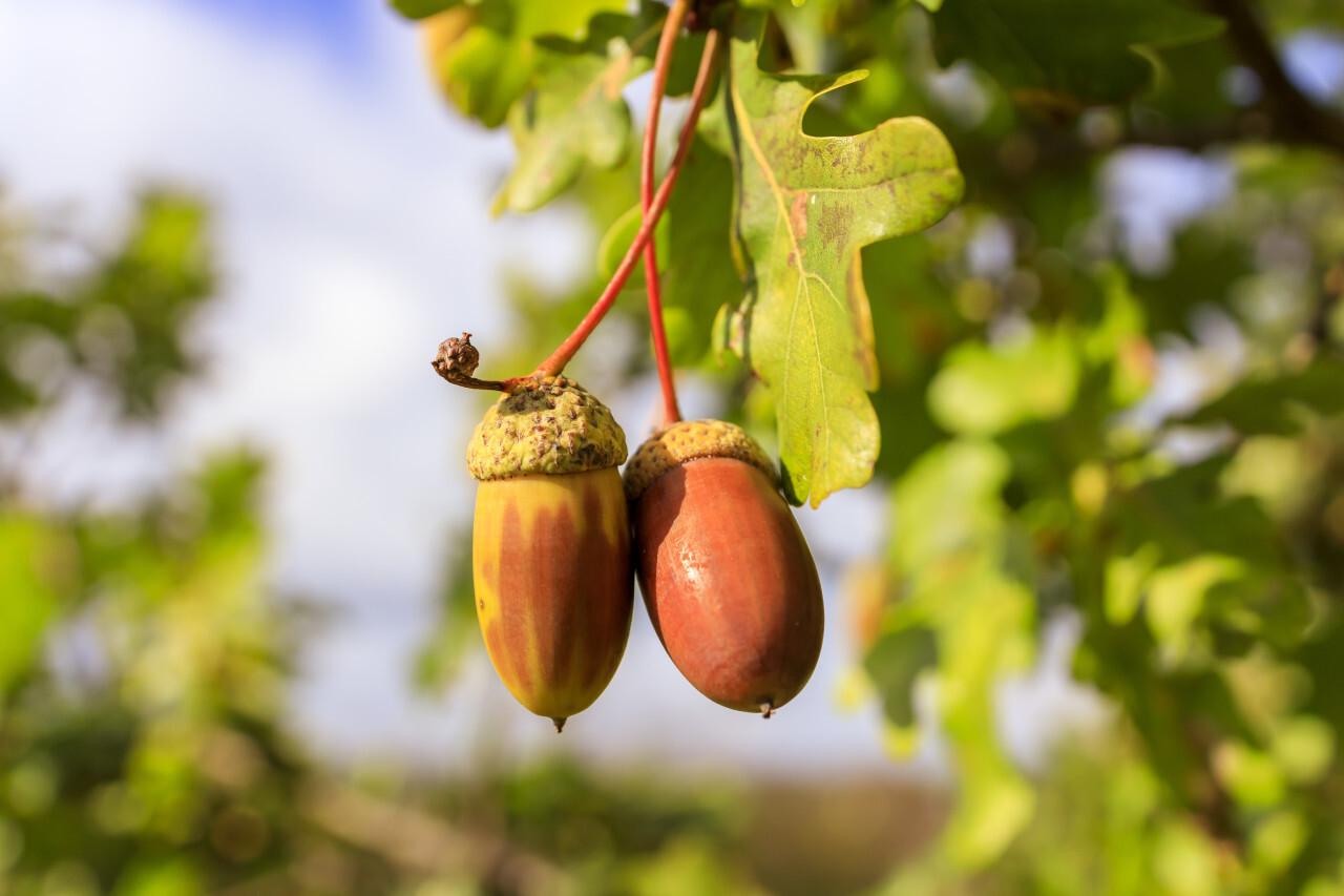 Acorns on an oak in autumn