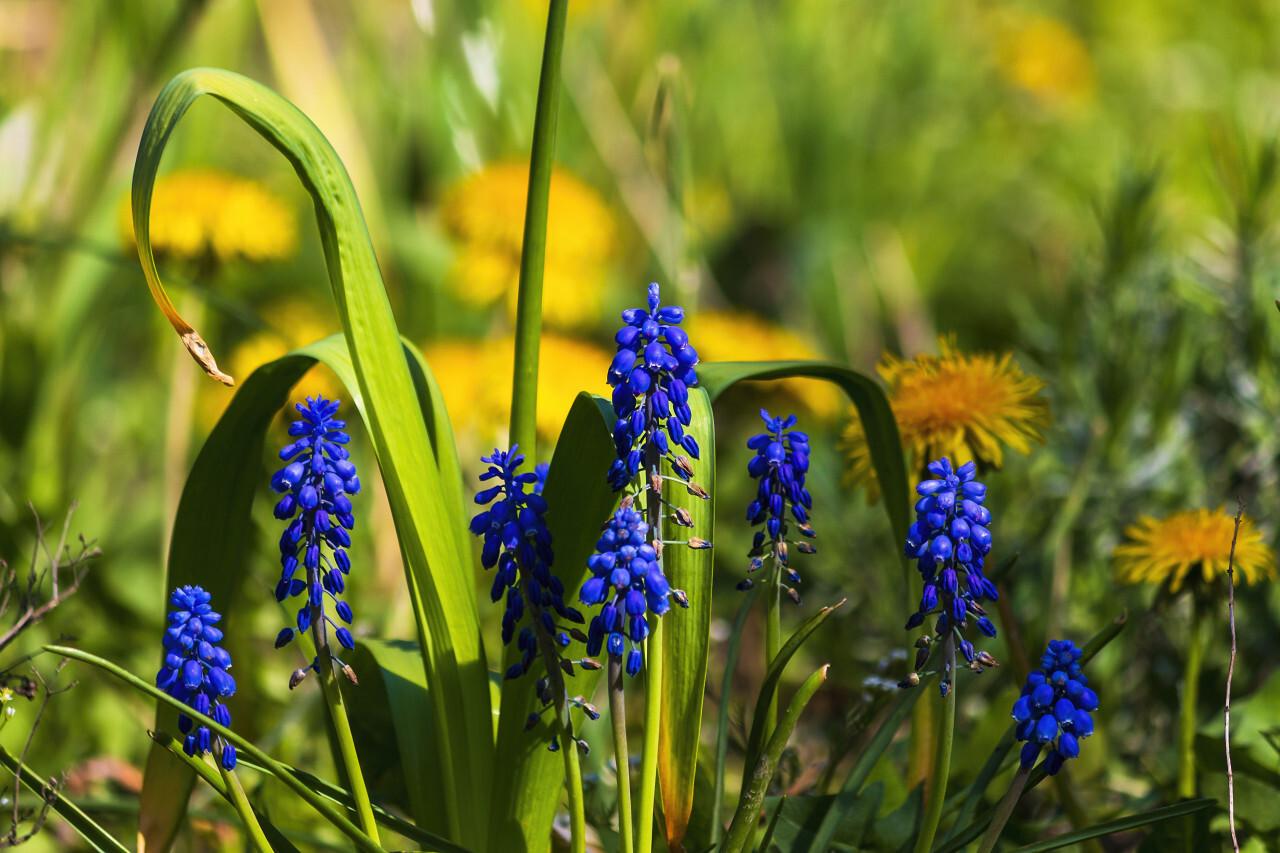 blue hyacinths flowers on a spring meadow