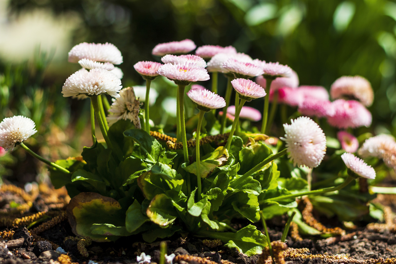 daisy english bellis perennis - pink flowers