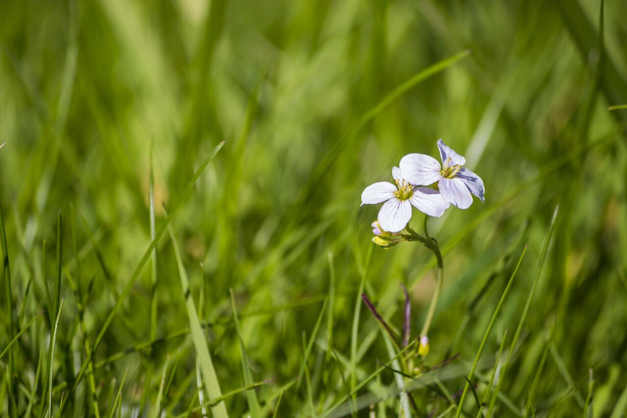 beautiful little cuckoo flower on a meadow
