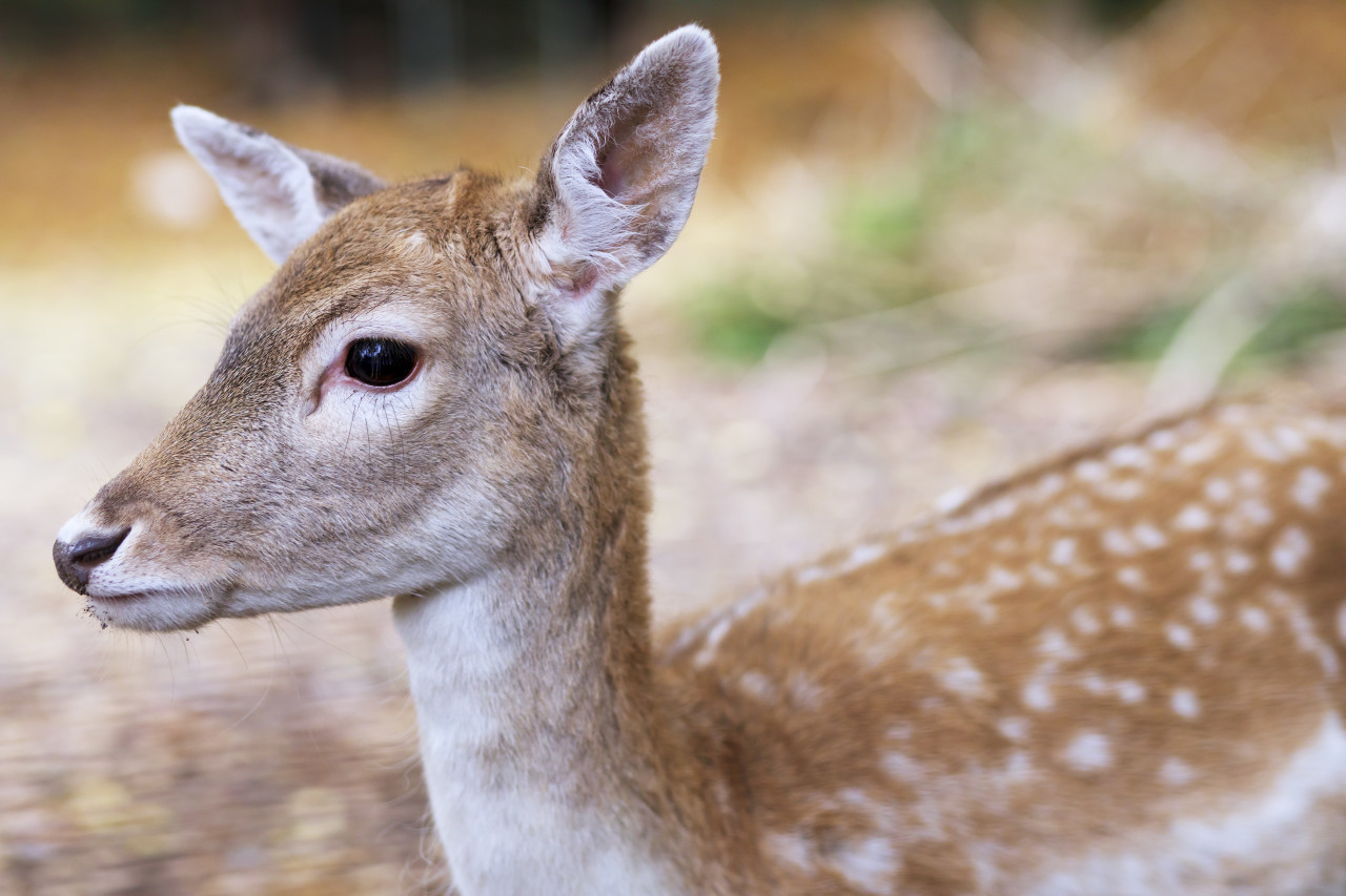 White-tailed Deer Fawn Portrait