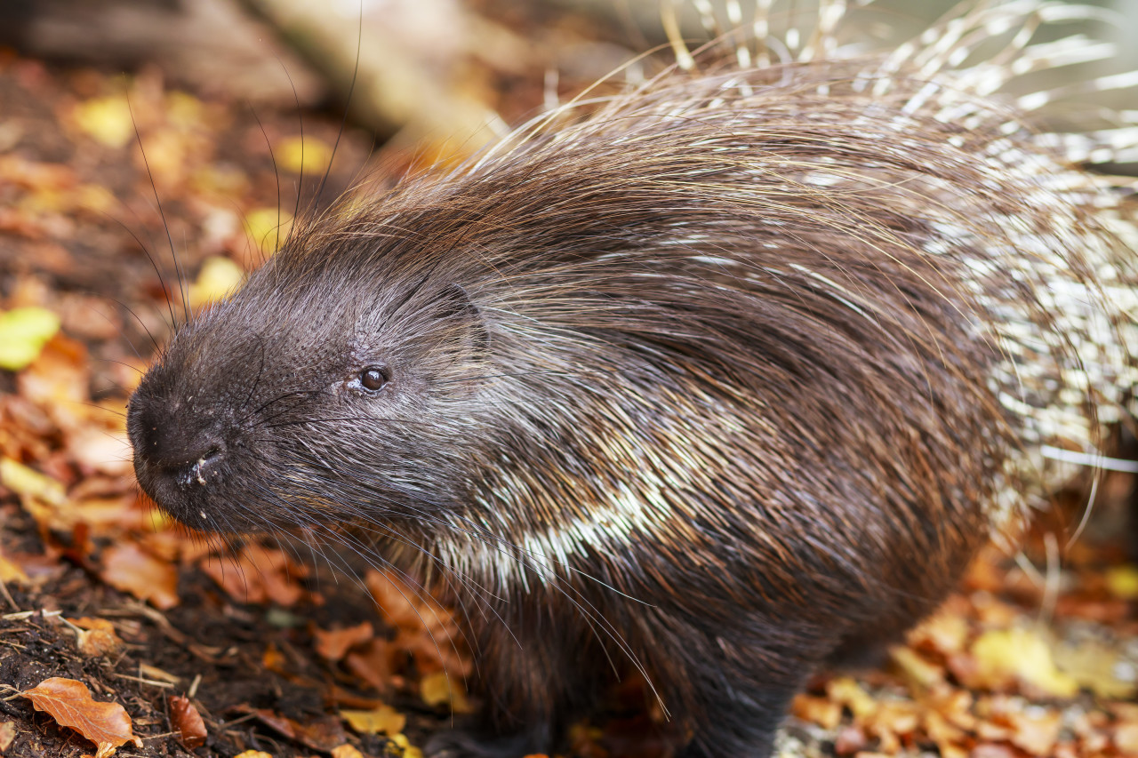 Portrait of an African Crested Porcupine, Hystrix cristata