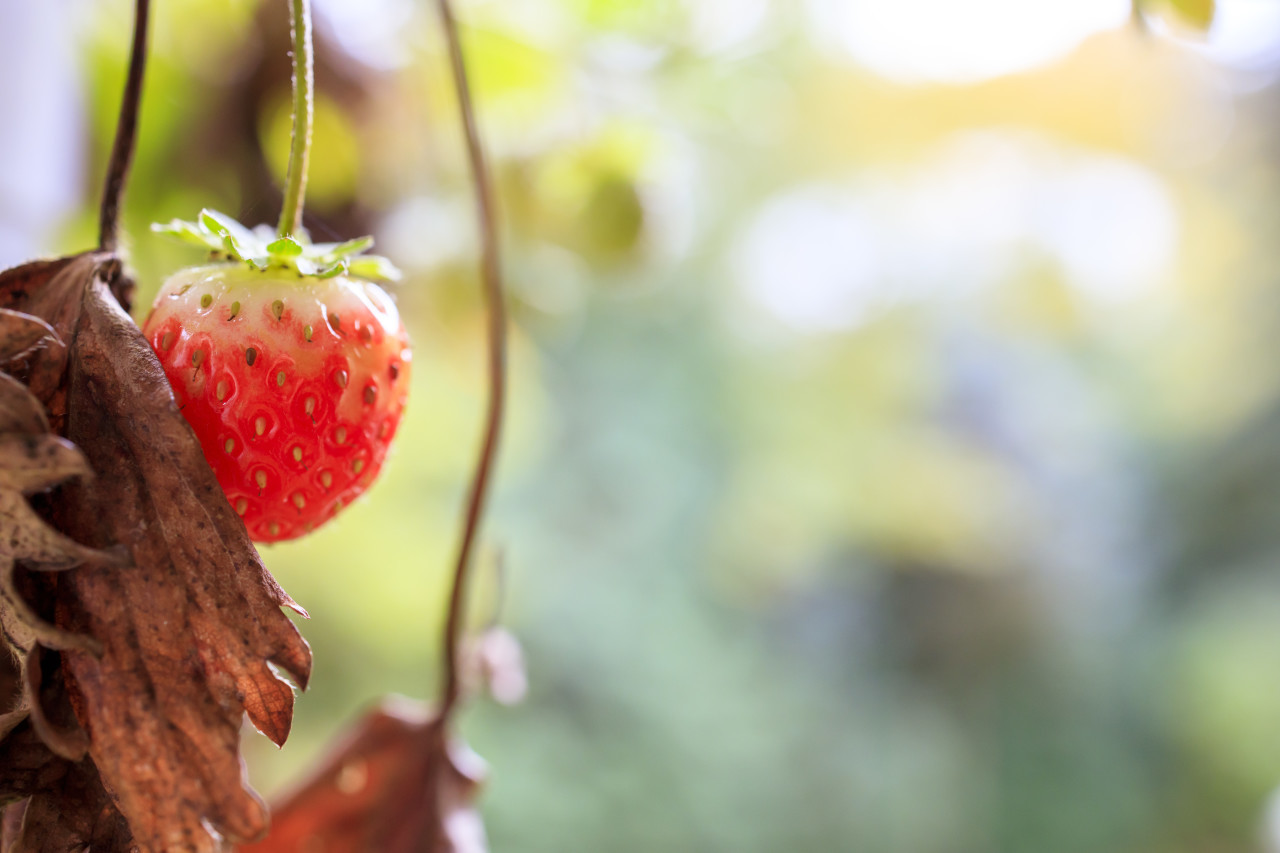 Strawberry in autumn