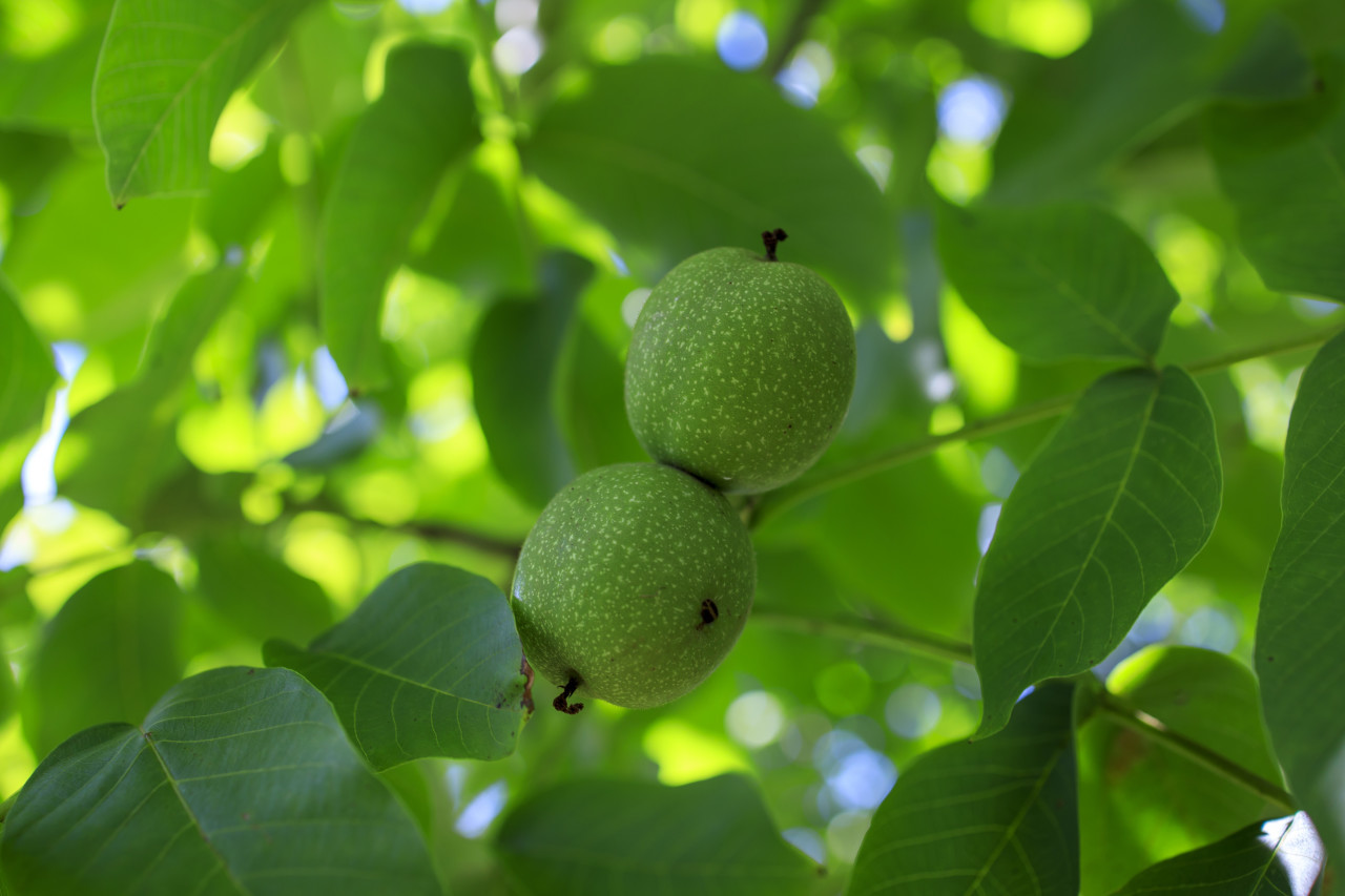 Unripe green apples on a branch