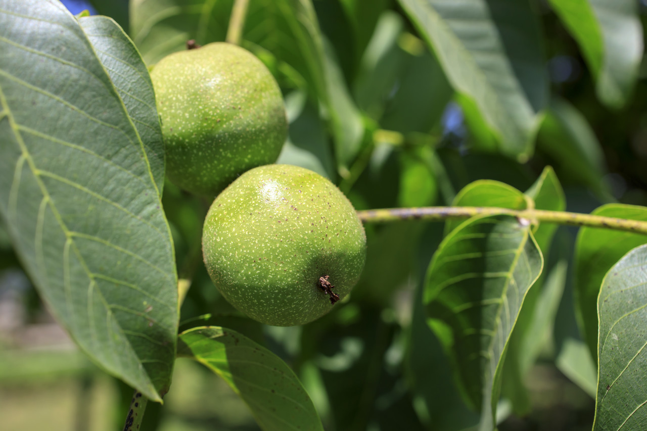 Unripe apples on a branch