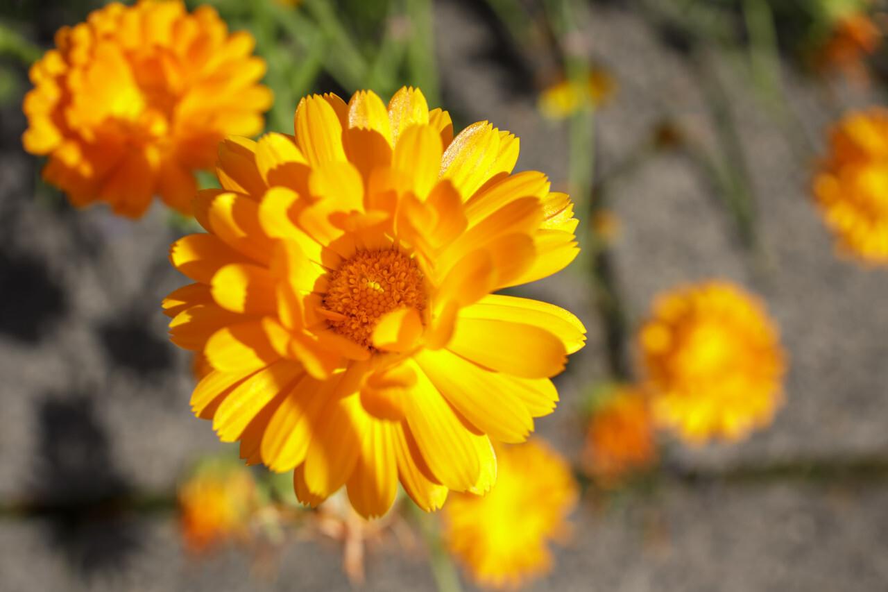 Orange calendula or marigold flower heads