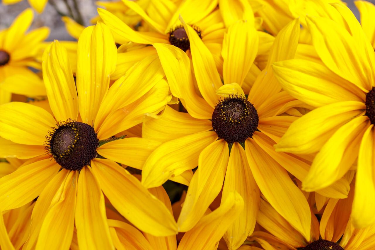 Beautiful yellow rudbeckia flowers closeup