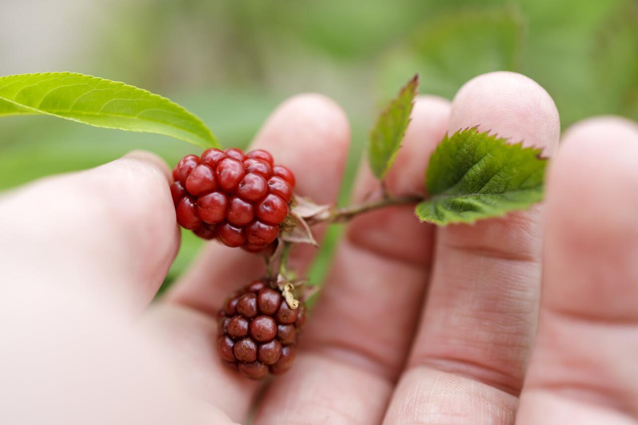 Unripe Blackberry Bunch in a Hand