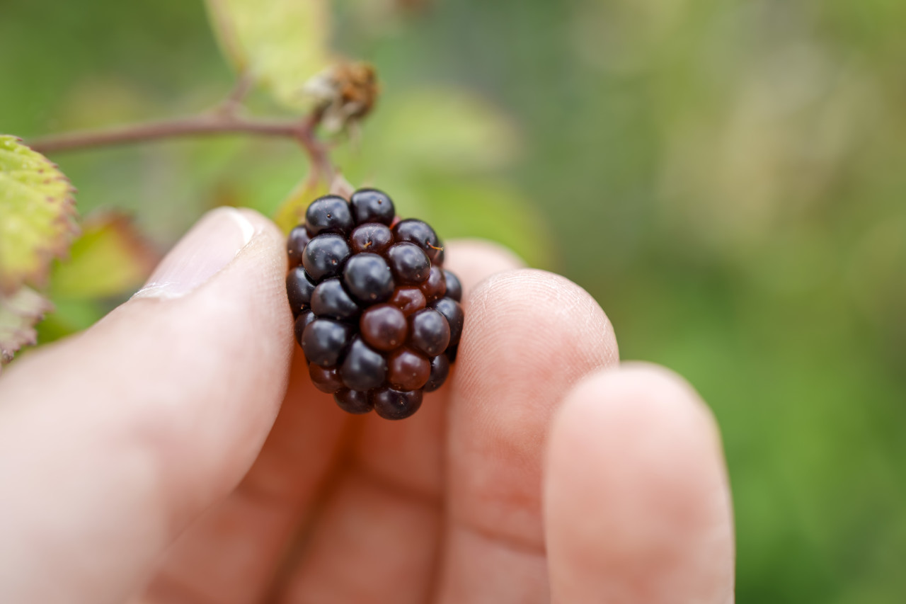 Blackberry on a Bunch in a Hand