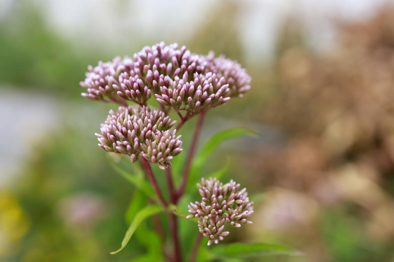 Curative flower Eupatorium cannabinum blooming