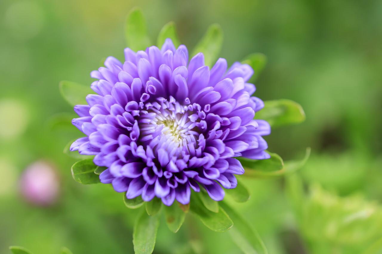 Dahlia Carolina Moon Purple Flower