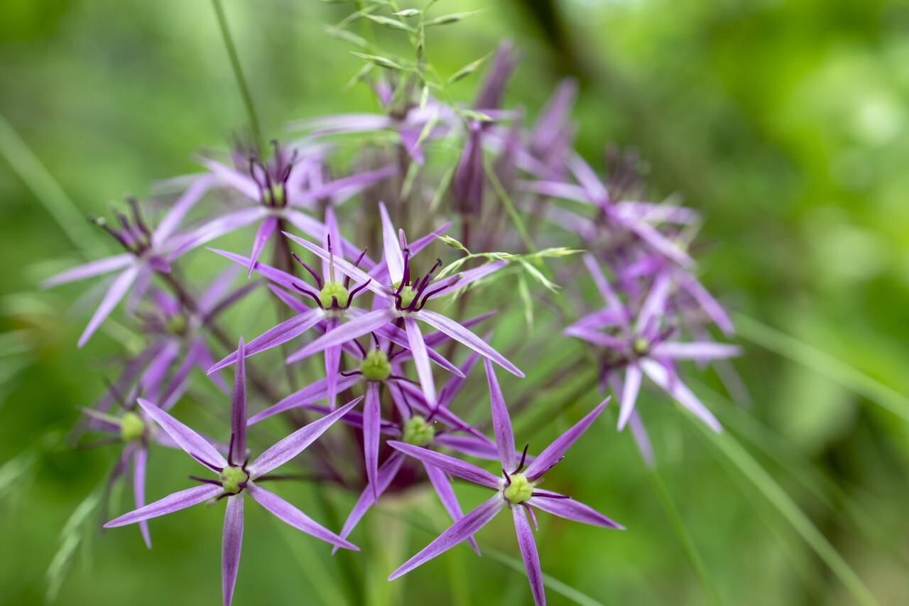 Purple allium flower grows in the garden macro close-up