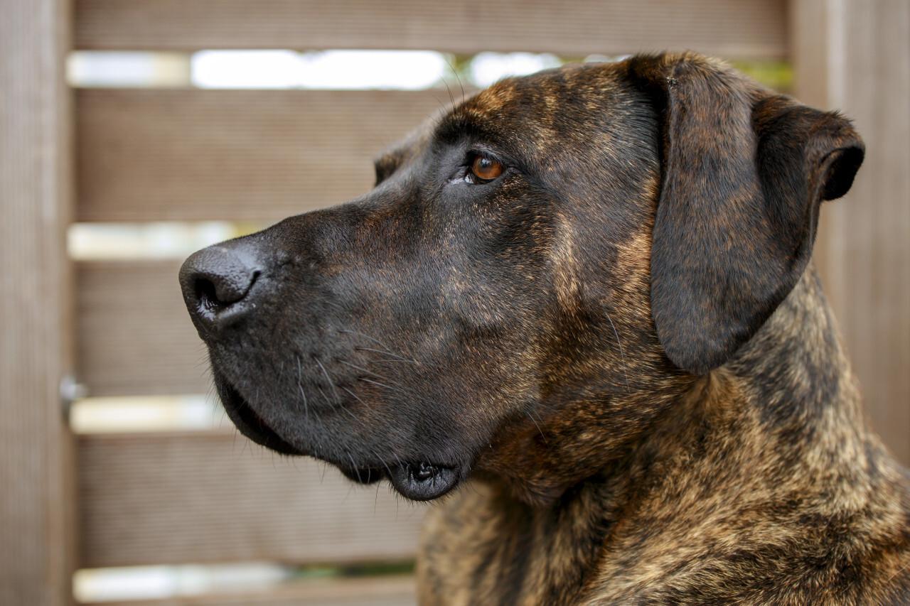 German mastiff Portrait