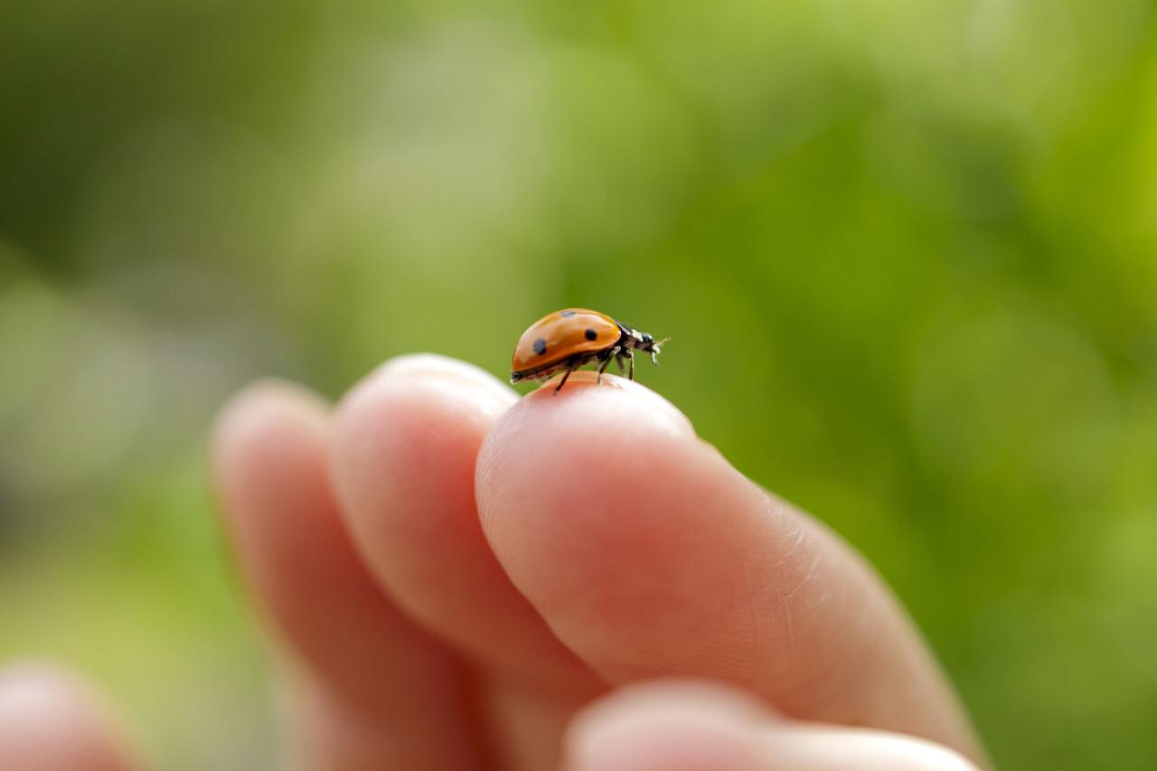 Ladybug on finger close up