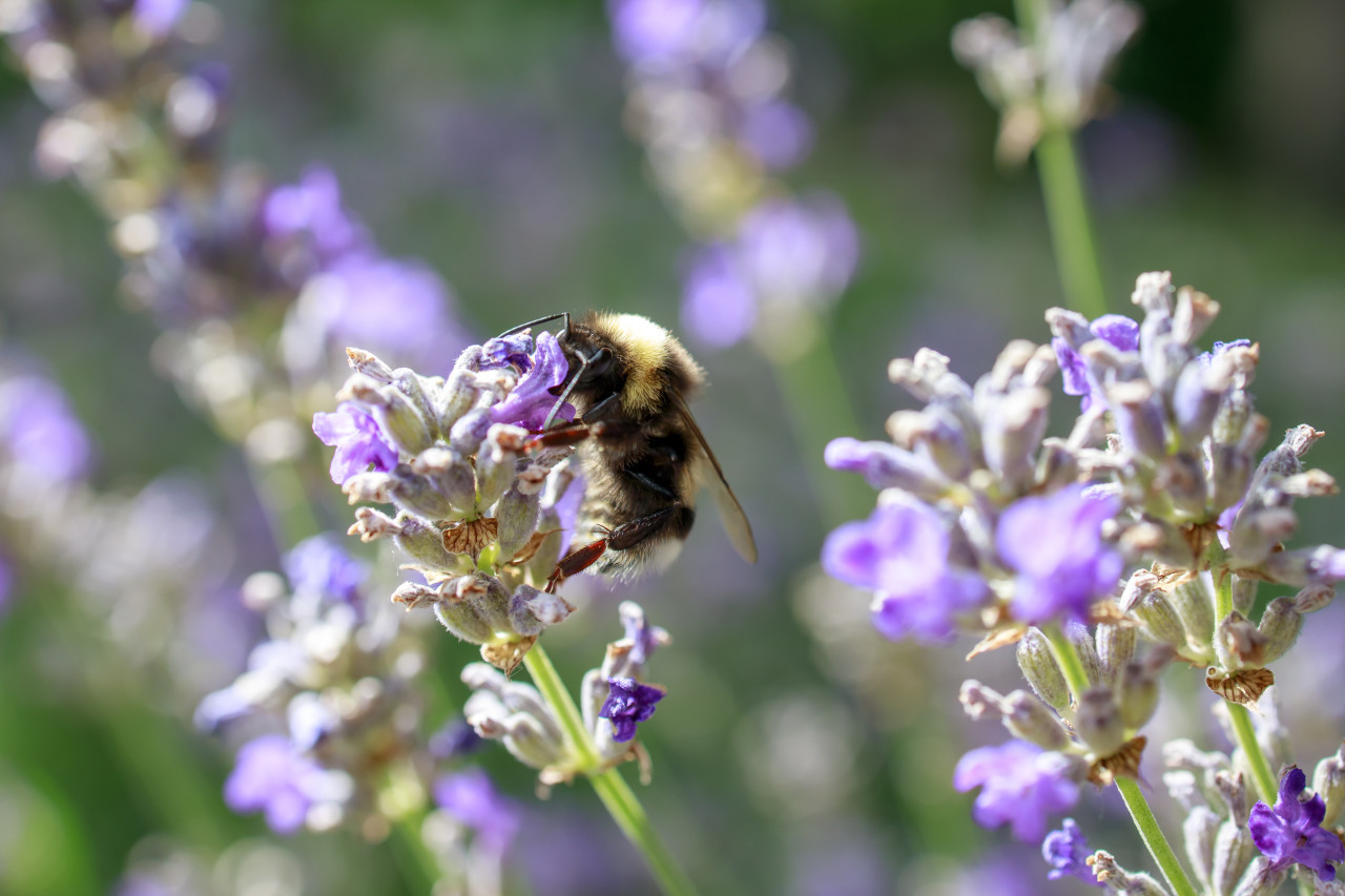 Honey bee on lavender flowers
