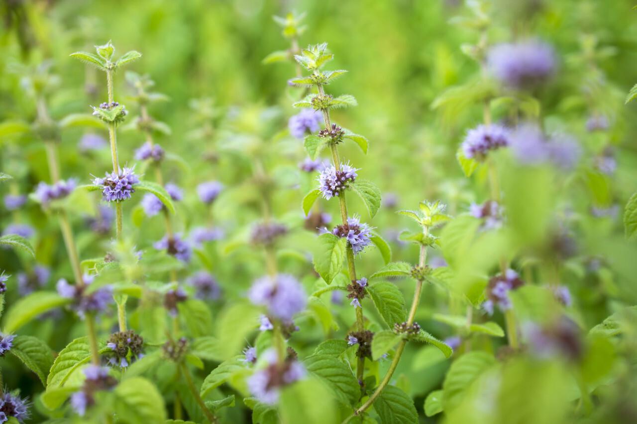 Flowering mint plant in July