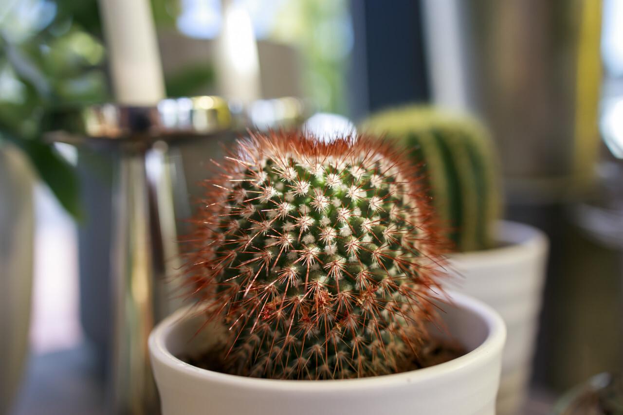 Cactus as a houseplant