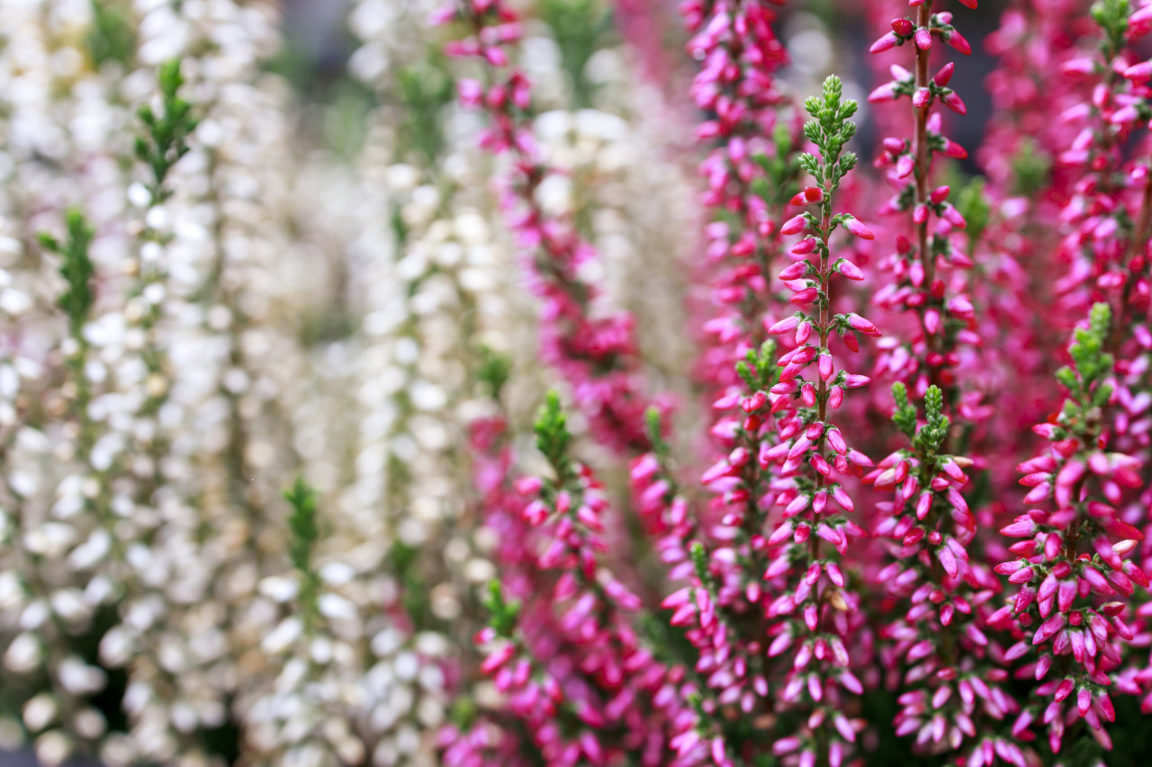 Pink Flowering erica plant