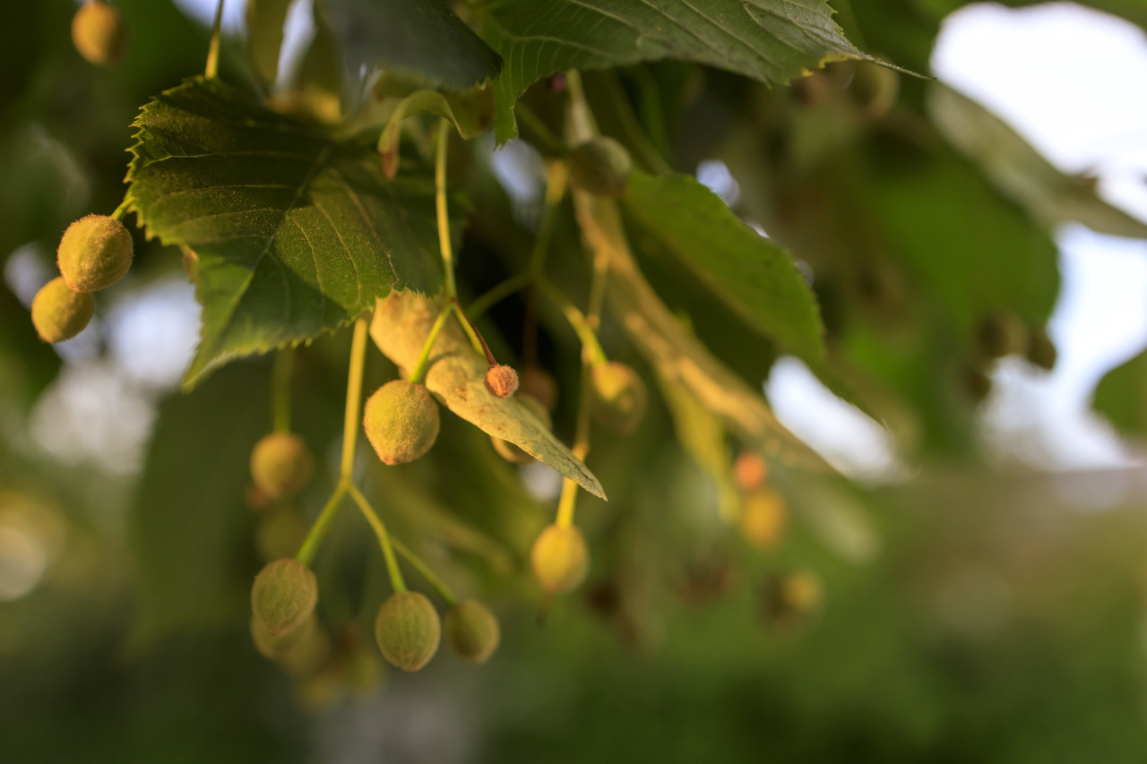 Linden tree with green leaves and small round fruits